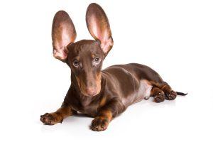 dog-ears-e1464902663650